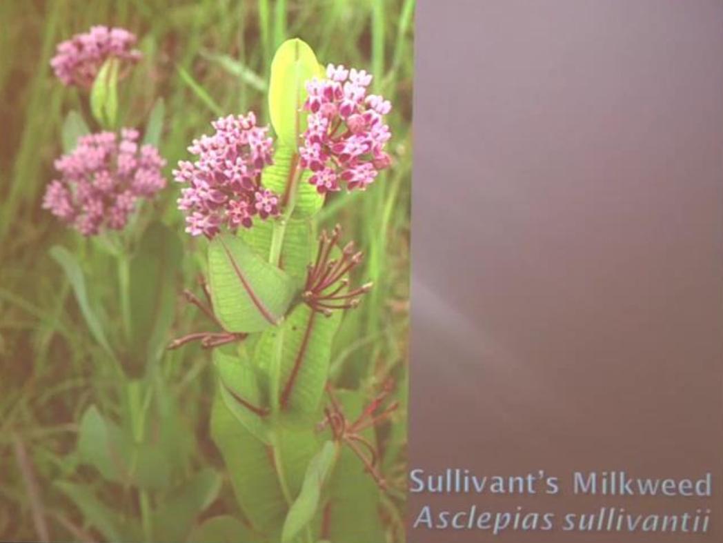 Image of Sullivant's Milkweed (Asclepias sullivantii)